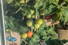 ferienpass-fruehling-kita-gwunderwelt-kraeutergarten-tomaten-und-erdbeeren