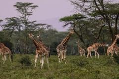 giraffes-2685352